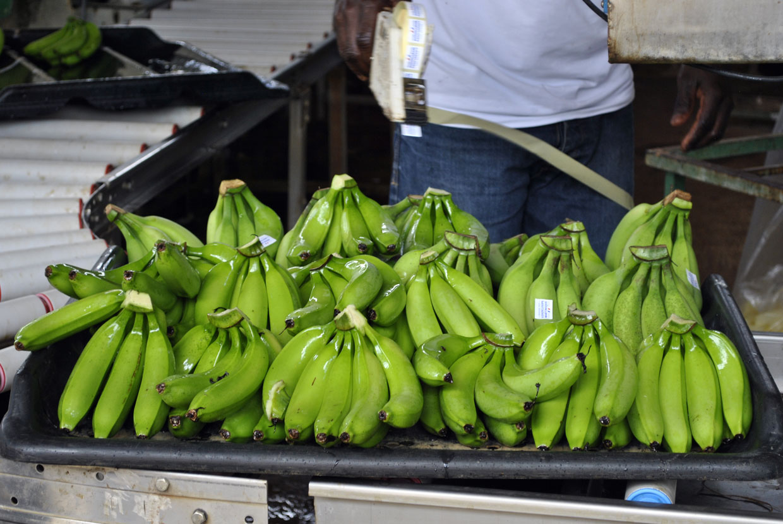 etiquetage-bananes