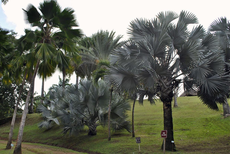 palmiers-bleus-martinique