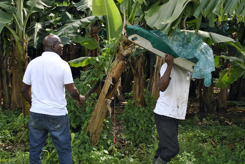recolte-bananes.jpg